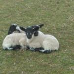 Triplet lambs spring time huddled together
